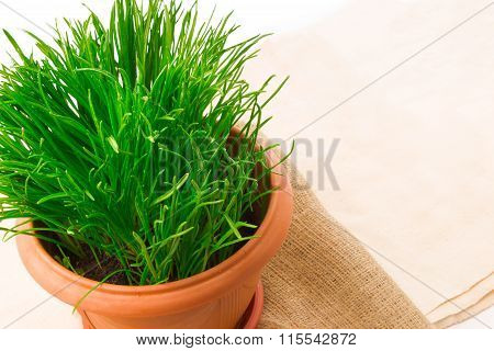 Fresh Grass In The Flower Pot With Sacking