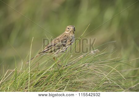 Meadow, Anthus pratensis, pipit perched in the grass