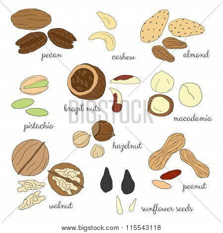 Hand drawn detailed nuts isolated on white background.