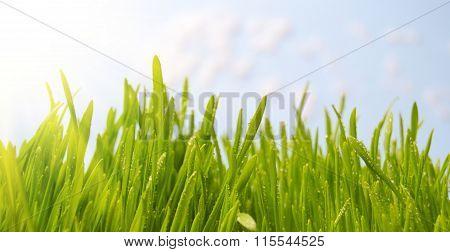 Dewy Grass Under The Spring Sun