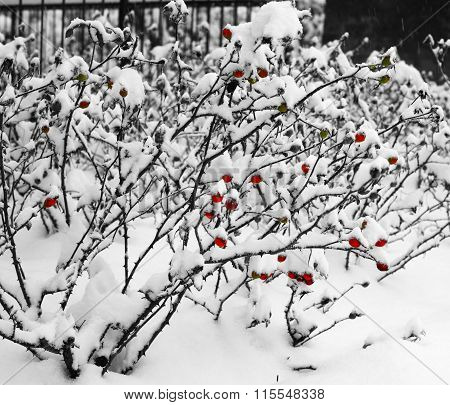 Bushes Rose Hip Under The Snow.