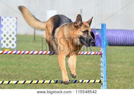 German Shepherd At A Dog Agility Trial