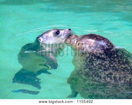 Baby Seal Kiss