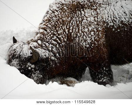 Yellowstone American Bison Closeup