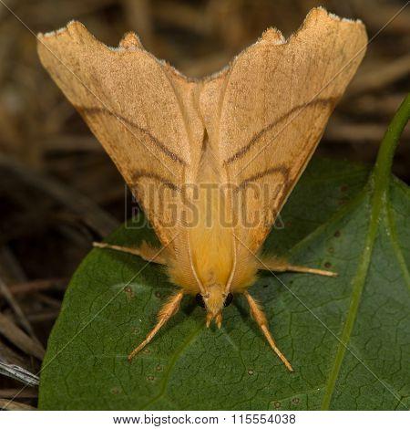 September thorn (Ennomos erosaria)