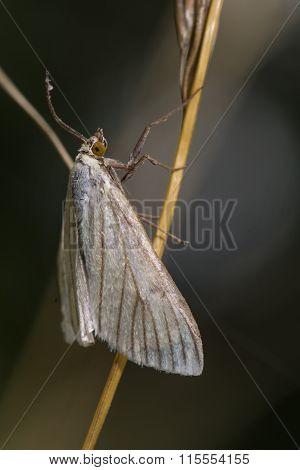 Sitochroa palealis micro moth