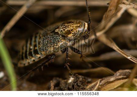 Lesser cockroach (Ectobius panzeri)