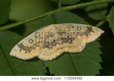 The mocha (Cyclophora annularia) moth