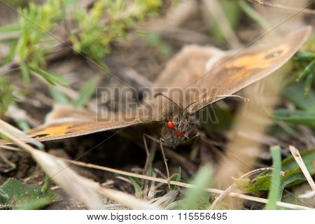 Meadow brown (Maniola jurtina) with mites