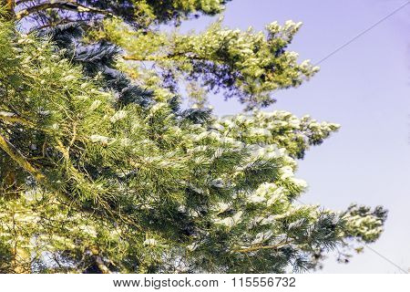 Pine Tree In The Snow Against A Blue Sky
