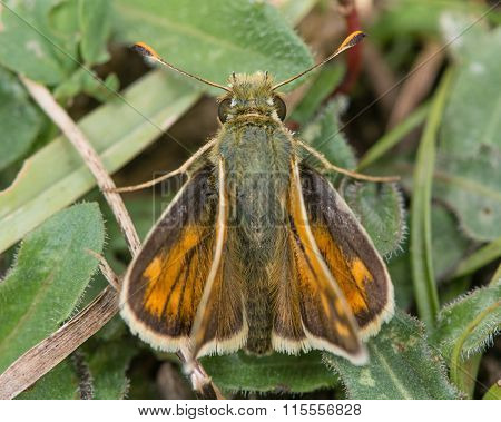 Silver-spotted skipper (Hesperia comma) from above