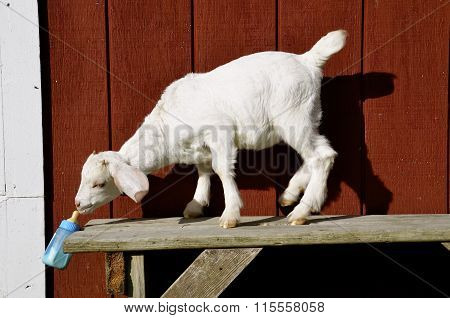 Baby goat sucks milk from a bottle