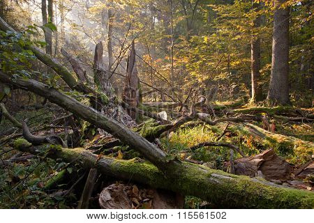 Old Oak Tree Broken And Sunbeams Above