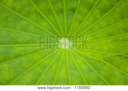 Lotus Leaf Lines
