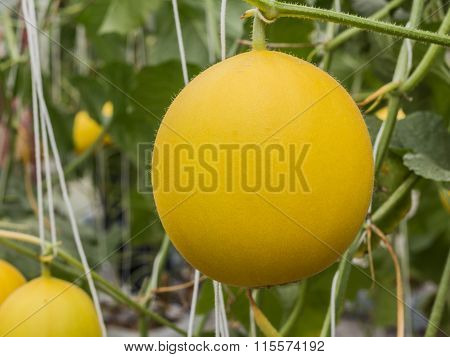 Yellow Cantaloupe Melons Growing In A Greenhouse