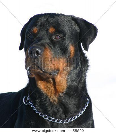 Vendo cão