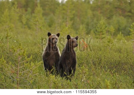 Brown Bear Cubs Standing Up