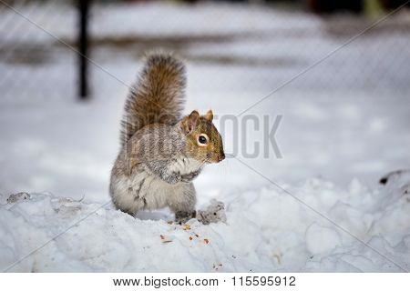 Grey Squirrel enjoying a mild winters day in Montreal Canada.