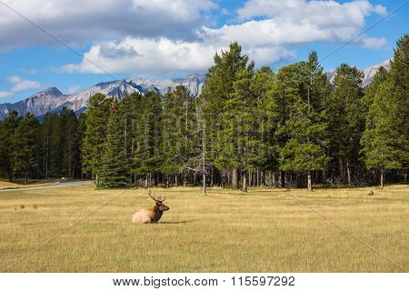 Red deer antlered lying in the grass on the edge of the forest. Deer resting. Jasper National Park in the Rocky Mountains