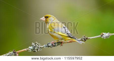 Beautiful Male Greenfinch
