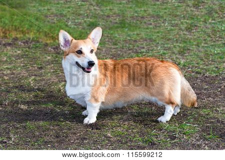 Cardigan Welsh corgi looks.