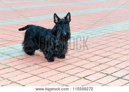The Scottish Terrier.