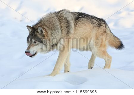 Big alpha wolf looking for food