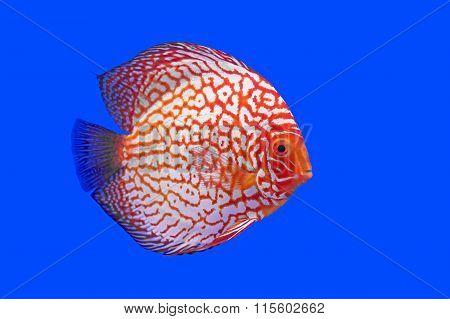 Pompadour Or Symphysodon Fish