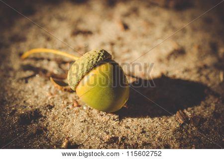 Acorn Lying On The Ground Close-up