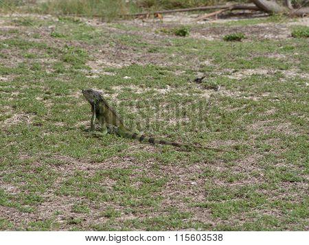 Green Iguana Near The Beach In St. Croix