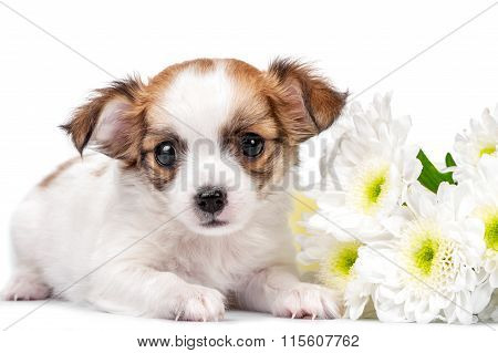 sweet Chihuahua puppy with chrysanthemums  flowers close-up isolated on white