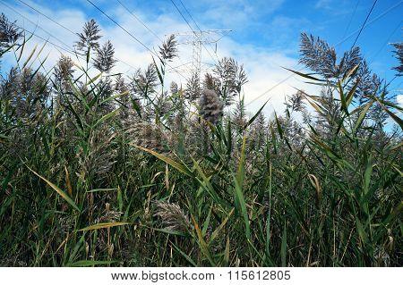 Common Reeds