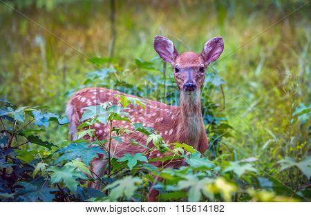 Wild Baby Deer hiding in meadow