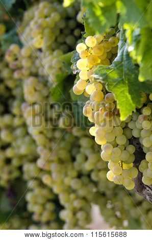White Wine Grapes In Vineyard