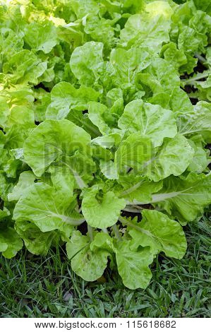 fresh green chinese cabbage plants