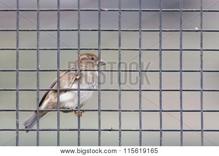 Sparrow Trapped