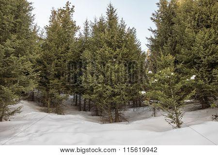 Tien Shan Spruce