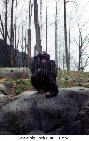 Chimp 3