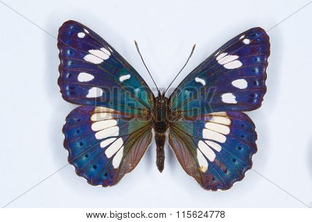Southern White Admiral, Limenitis Reducta  Butterfly
