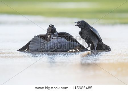 Crow Corvus corone fighting on the ice