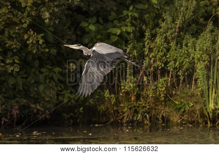 Heron ardea cinerea flying from the side of a pond
