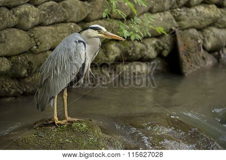 Grey Heron ardea cinerea standing on a rock in a river