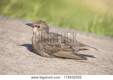 Starling Sturnus vulgaris juvenile resting on a pavement