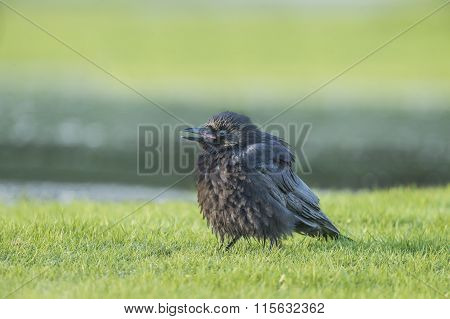 Crow Corvus corone on the frozen grass