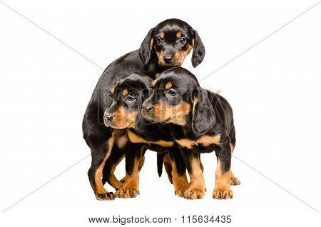 Three cute puppy breed Slovakian Hound