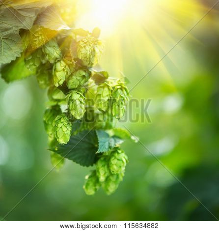 Hop plant close up growing on a Hop farm. Fresh and Ripe Hops ready for harvesting. Beer production ingredient. Brewing concept