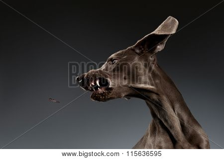 Close-up Portrait Of Weimaraner Dog Catching Food On White Gradient