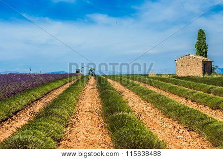Purple lavender field in Valensole, France