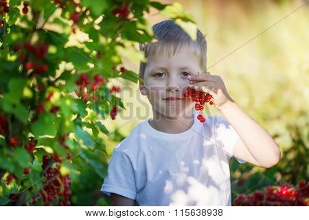 Funny Little Kid Picking Up Red Currants From Currant Bush In A Garden.