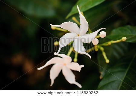 Group Of White Sampaguita Or Arabian Jasmine